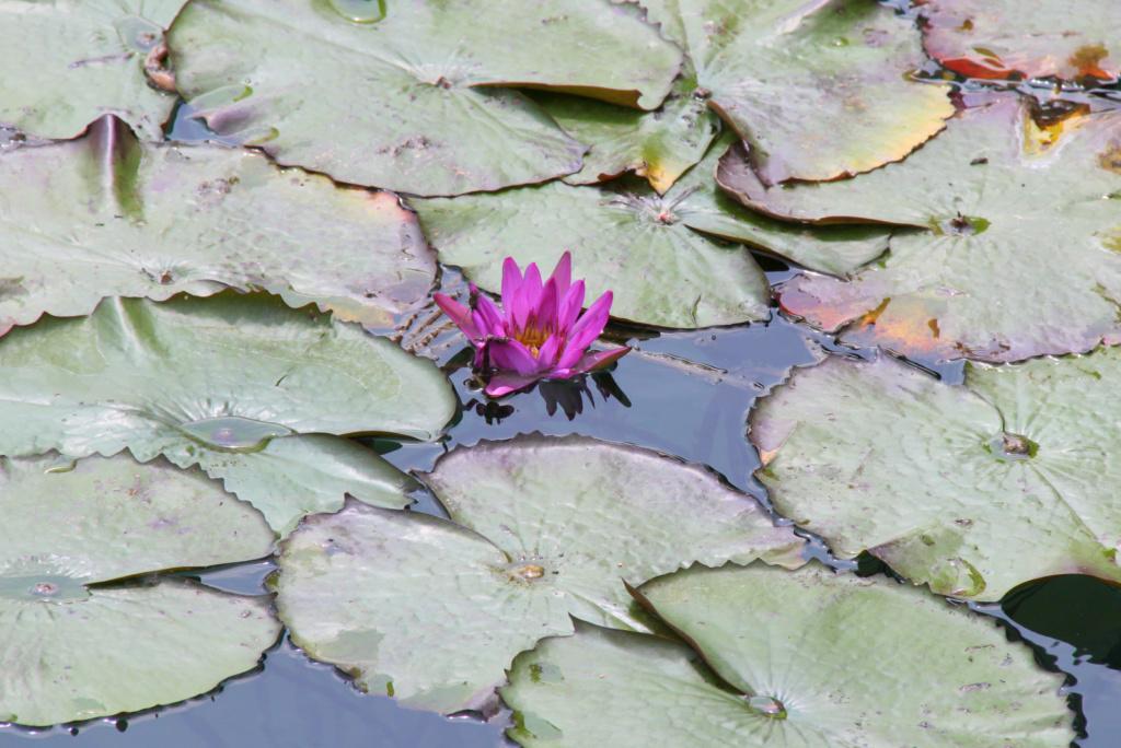 V vodi uspeva le ena vrsta lilije Heviz