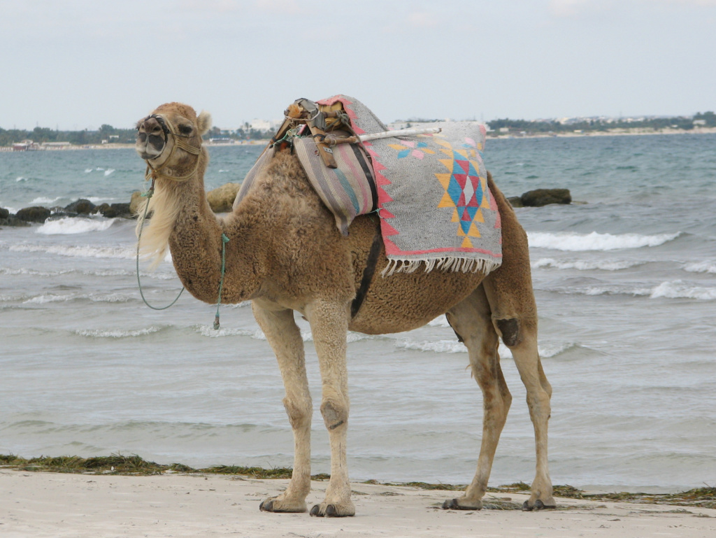 Tunizija kamele