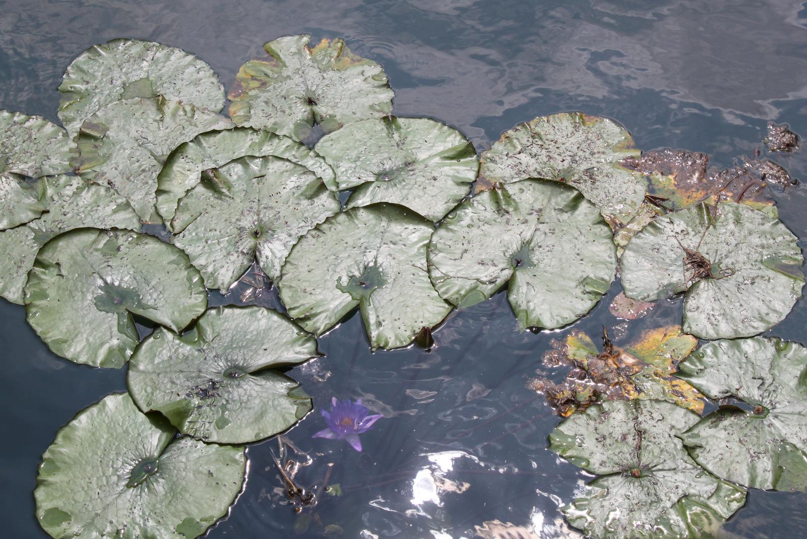 Heviz termalno jezero