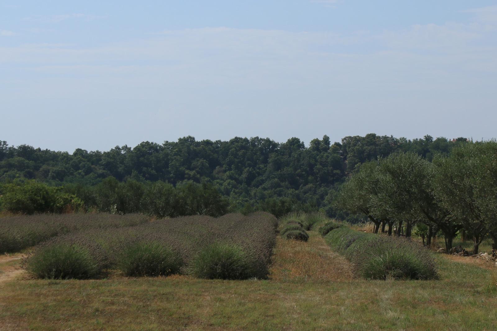 Nasad oljk in sivke.