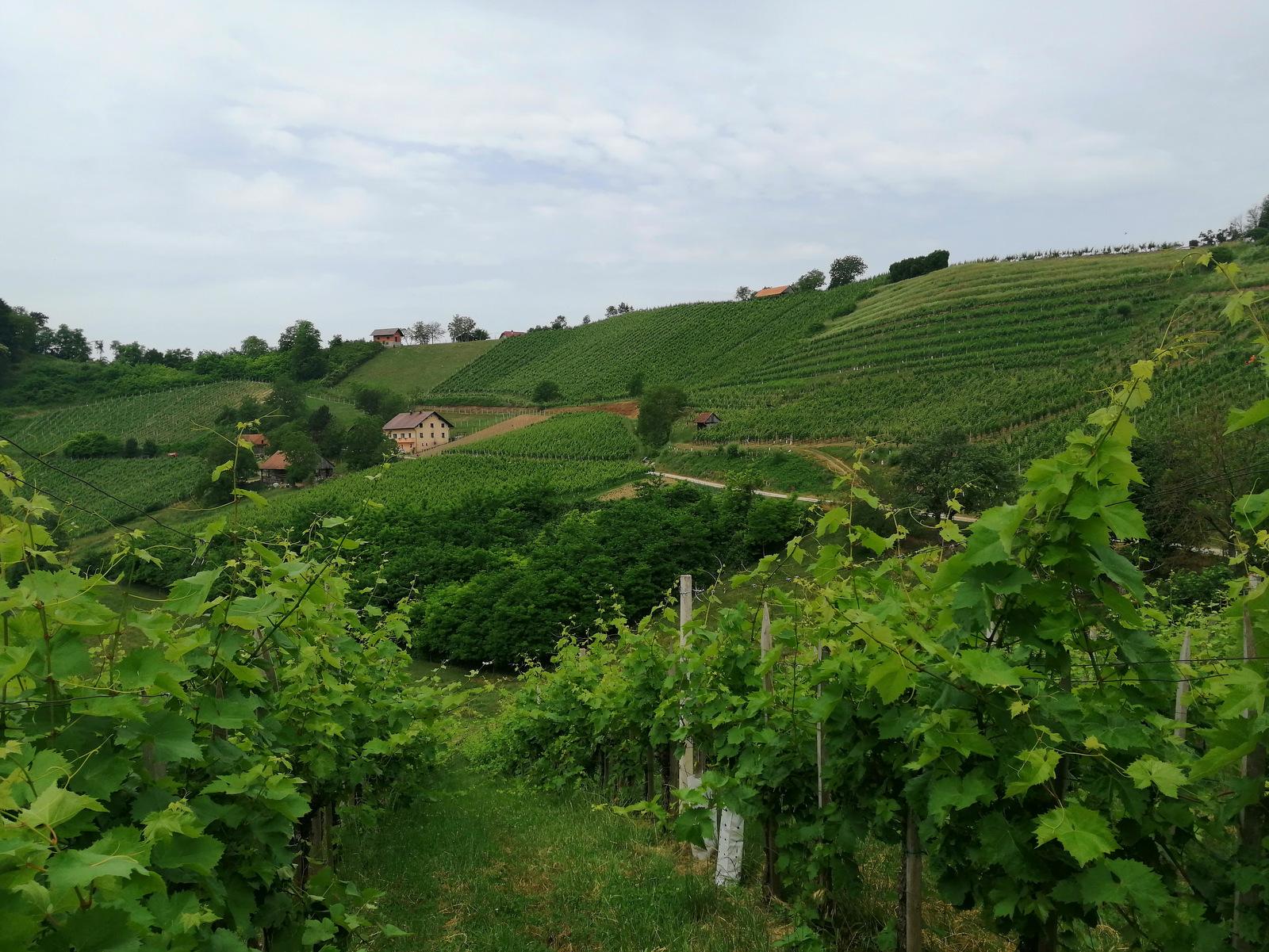 Vinorodna okolica
