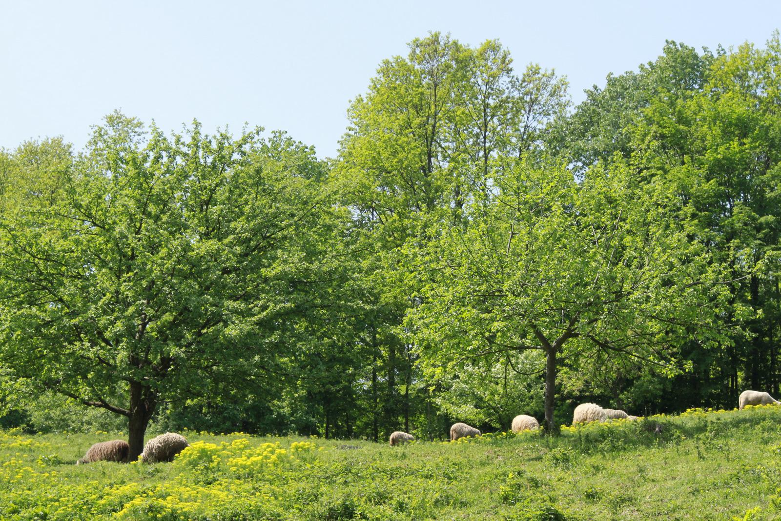 Ovce na Fruški gori