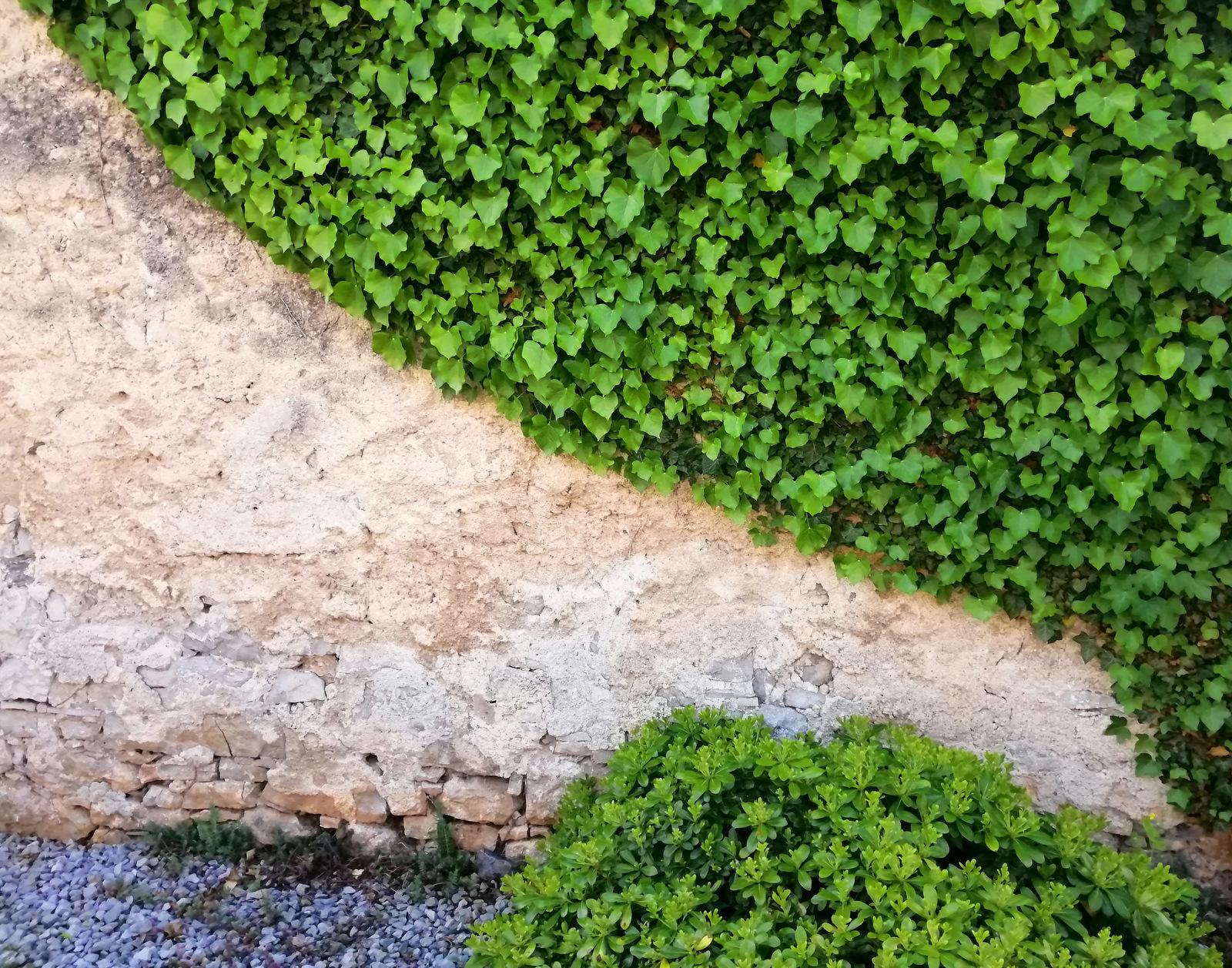 Kamen in bršljan