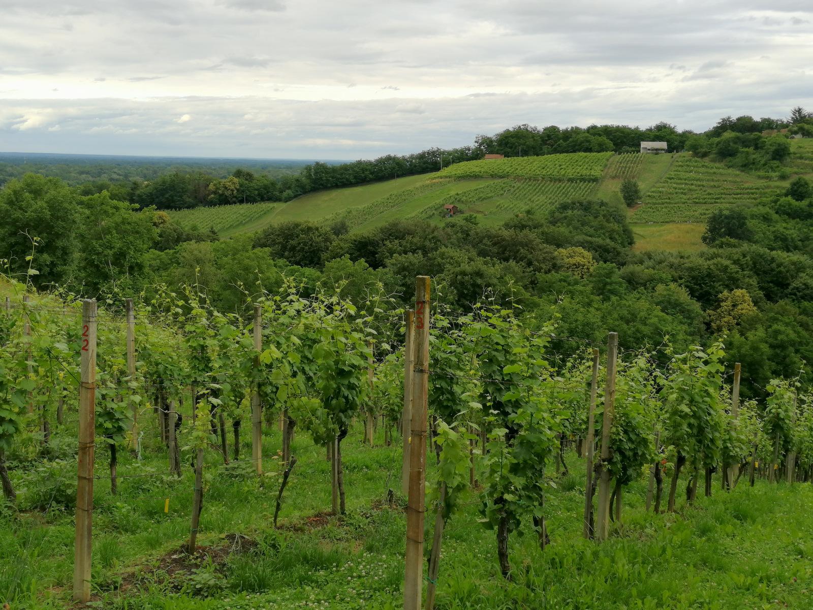 Šprinc, vinogradi