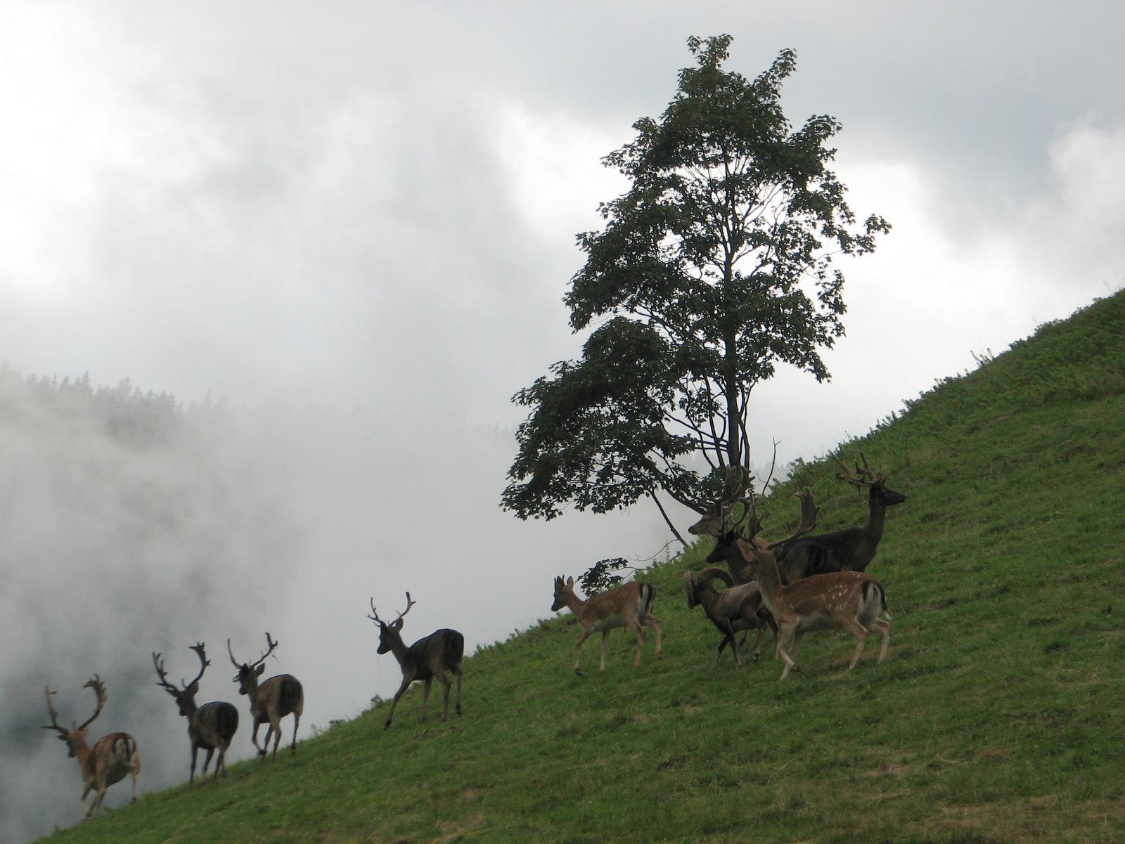 Rogla, jeleni