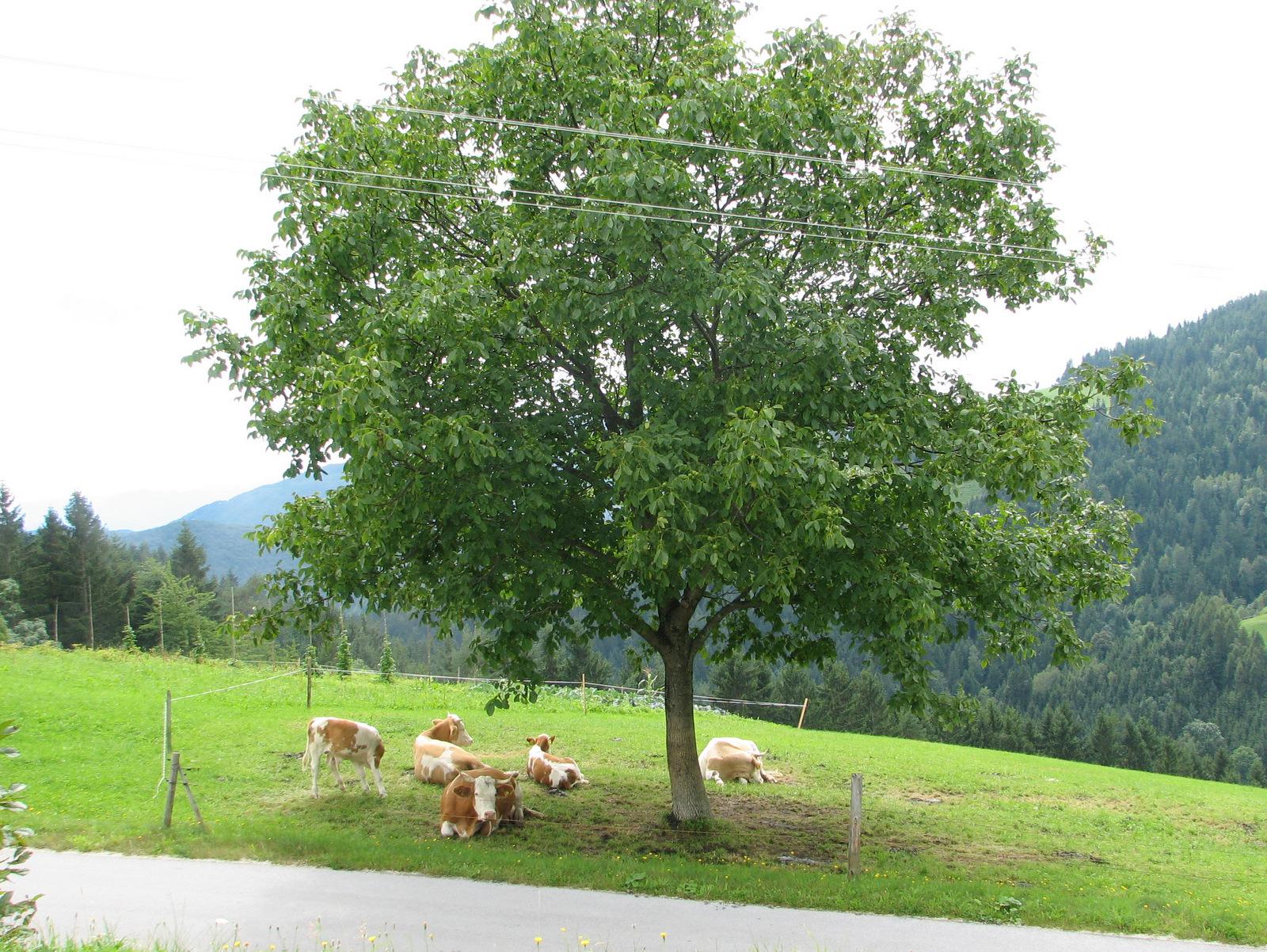 Rogla, krave