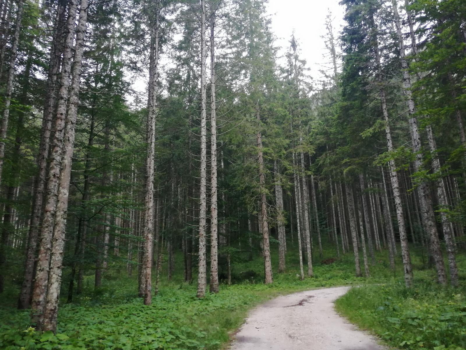 Češka koča, gozd