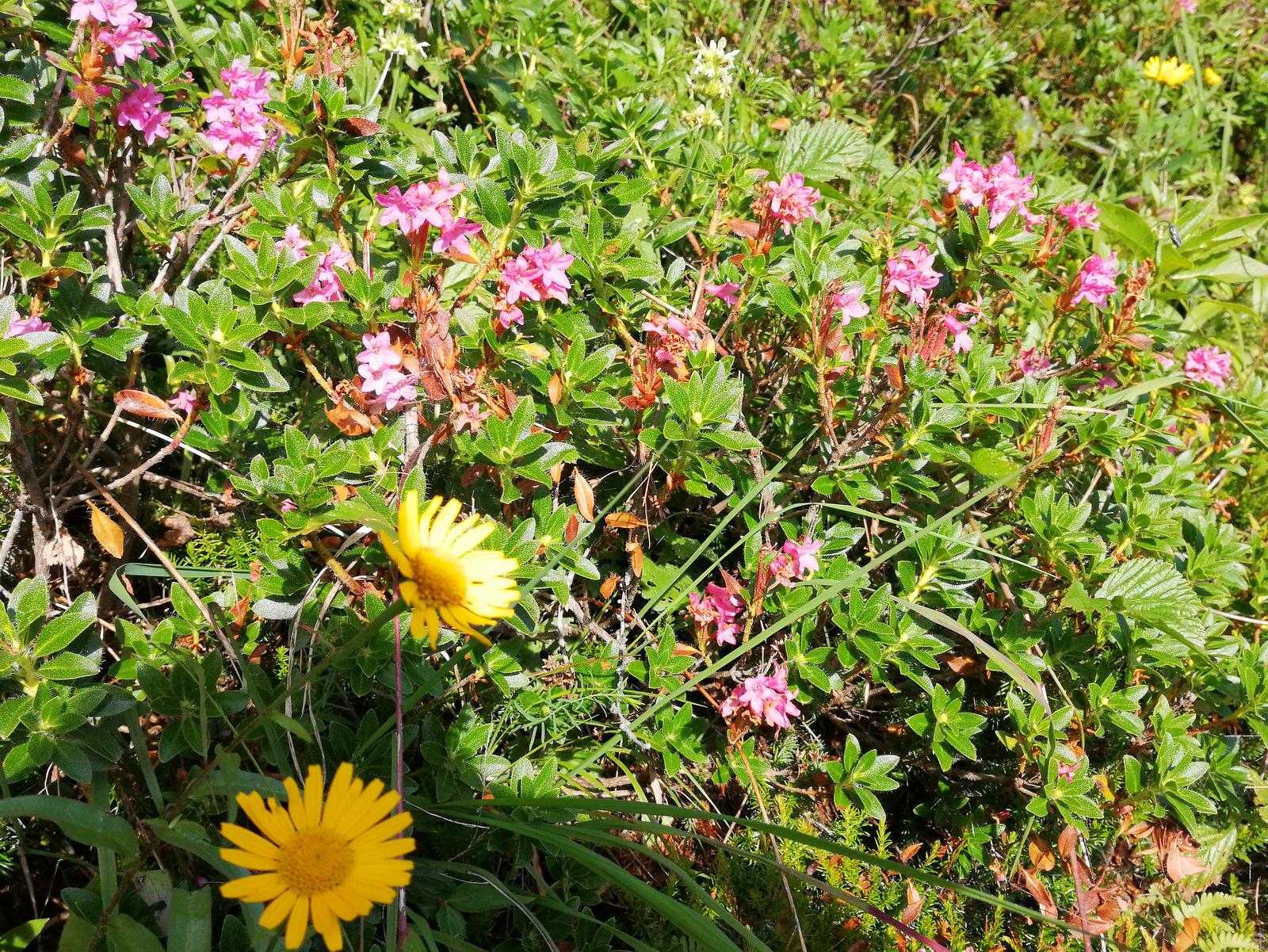 Češka koča, cvetje ob poti