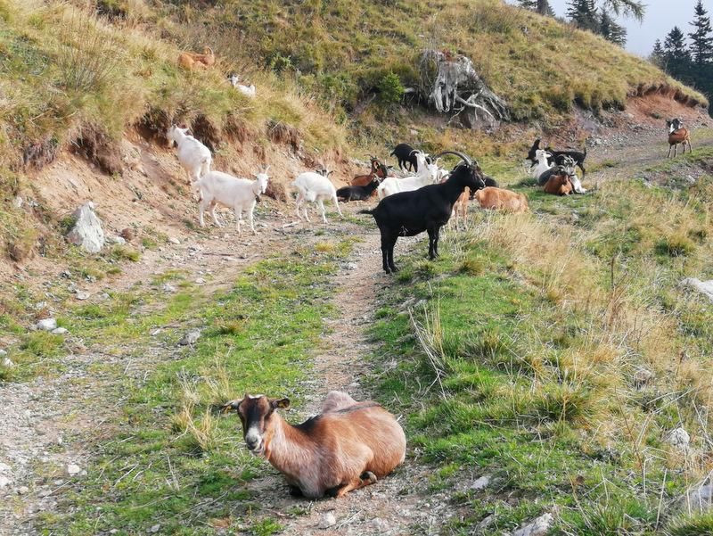 Kriška gora, koze na Mali Poljani