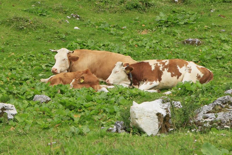 Triglavska jezera, pot, krave