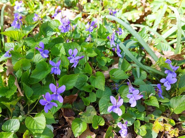 Spomladansko gozdno cvetje